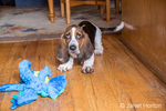 """Three month old Basset puppy """"Emma Mae"""" with her stuffed dragon toy"""