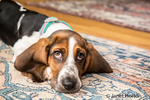 "Three month old Basset puppy ""Emma Mae"" looking forlorn as she reclines on an area rug"