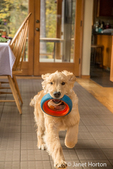 "Four month old Golden Retriever puppy ""Sophie"" running through her kitchen with a dog ring toy in her mouth"