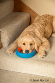 "Four month old Golden Retriever puppy ""Sophie"" resting on the stairwell with her dog ring toy"