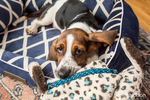 Three month old Basset puppy