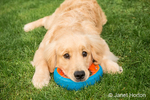 """Four month old Golden Retriever puppy """"Sophie"""" taking a break outside from playing with her dog ring toy"""