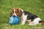 """Three month old Basset puppy """"Emma Mae"""" chewing a kick ball in her yard"""