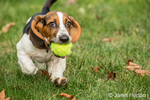 """Three month old Basset puppy """"Emma Mae"""" proudly carrying her tennis ball in her yard in"""