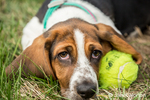 "Three month old Basset puppy ""Emma Mae"" resting beside her tennis ball"