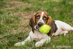 "Three month old Basset puppy ""Emma Mae"" resting as she chews her tennis ball"