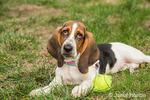 "Three month old Basset puppy ""Emma Mae"" resting beside her tennis ball"
