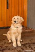 """Four month old Golden Retriever puppy """"Sophie"""" posing by the front door of her home"""