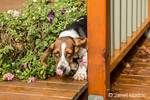 "Three month old Basset puppy ""Emma Mae"" looking rather guilty as she comes from behind some flower pots on her deck"