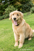 """Four month old Golden Retriever puppy """"Sophie"""" posing on her lawn"""