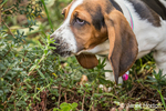"Three month old Basset puppy ""Emma Mae"" investigating the smell of a potted plant"