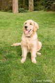 Four month old Golden Retriever puppy