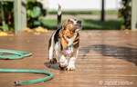 "Three month old Basset puppy ""Emma Mae"" looking up at a bird as she walks across her deck"