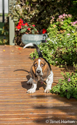 "Three month old Basset puppy ""Emma Mae"" posing by some Autumn blooming potted plants on her deck"