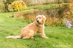"""Four month old Golden Retriever puppy """"Sophie"""" taking a break from play by her farm pond"""