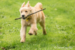 """Four month old Golden Retriever puppy """"Sophie"""" running with a stick in her mouth,"""