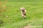 "Four month old Golden Retriever puppy ""Sophie"" running with a stick in her mouth,"