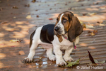 "Three month old Basset puppy ""Emma Mae"" posing in her patio, trying to determine what to do next"