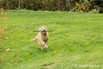 "Four month old Golden Retriever puppy ""Sophie"" running with a stick in her mouth"