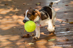 """Three month old Basset puppy """"Emma Mae"""" carrying an oversized tennis ball on her patio"""
