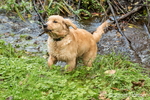 "Four month old Golden Retriever puppy ""Sophie"" finding a stick in a creek"