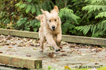 "Four month old Golden Retriever puppy ""Sophie"" running across a wooden footbridge with enthusiasm"