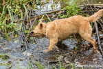 "Four month old Golden Retriever puppy ""Sophie"" shaking water off herself"