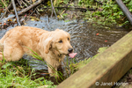 "Four month old Golden Retriever puppy ""Sophie"" wading in a small stream sticking her tongue out as she looks up on a footbridge"