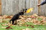 Woman encouraging her three month old German Shepherd, Greta, to take the Big Leaf Maple leaf