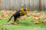 Three month old German Shepherd, Greta, enjoying playing with a Big Leaf Maple leaf