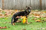 Three month old German Shepherd, Greta, holding a Big Leaf Maple leaf