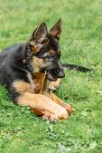 Three month old German Shepherd, Greta, chewing a Big Leaf Maple leaf