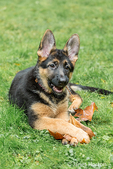 Three month old German Shepherd, Greta, chewing a Big Leaf Maple leaf