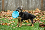 Three month old German Shepherd, Greta, playing with a Frisbee