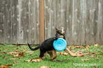 Three month old German Shepherd, Greta, fetching a frisbee