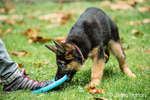 Three month old German Shepherd, Greta, playing tug with her owner and a Frisbee