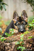 Three month old German Shepherd, Greta, acting shy as she peeks over a stump