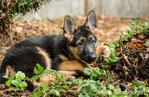 Three month old German Shepherd, Greta, reclining next to a stump