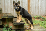 Three month old German Shepherd, Greta, posing as she walks up the steps to a shed