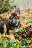 Three month old German Shepherd, Greta, reclining next to a stump