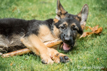 Three month old German Shepherd, Greta, chewing on a stick in her yard