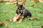Three month old German Shepherd, Greta, chewing on a stick in her yard