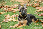 Three month old German Shepherd, Greta, reclining in her yard