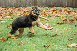Three month old German Shepherd, Greta, enjoying fetching a stick