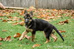 Woman about to throw a stick for her three month old German Shepherd, Greta