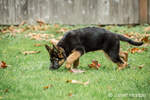 Three month old German Shepherd, Greta, checking out an interesting smell in her yard