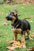Three month old German Shepherd, Greta, eager to please as she anticipates getting another treat from her owner