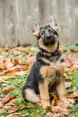 Three month old German Shepherd, Greta, performing a sit command