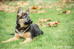 Three month old German Shepherd, Greta, reclining in her yard after a play session
