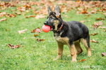 Three month old German Shepherd, Greta, playing with a ball